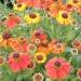 Helenium___Sahin__s_Early_Flowerer__.jpg
