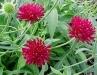 Knautia_macedonica___Crimson_Cushion__.jpg